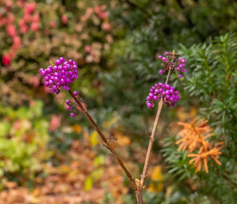 Kleurrijk - Fel gekleurde paarse bessen omgeven door herfsttinten. Callicarpa (dank Jan)