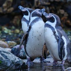 kussende pinguïns