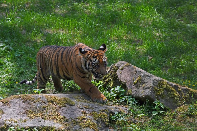 sluip-oefening - Een dierentuin tijgerwelp gaat een onbezorgde toekomst tegemoet. Hoe anders is het in de vrije natuur. Jungle wordt vernietigd voor d