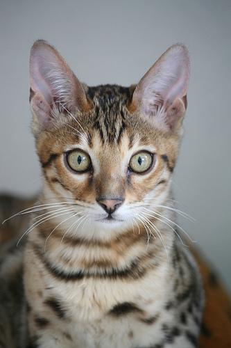 Bengaal kitten -