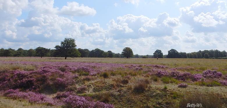 Bloeiende Heide. - Eindelijk weer tijd voor wat foto,s te maken en te plaatsen, Vandaag langs   Heide velden gereden., met fraaie luchten . <br /> <b