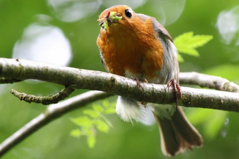 Roodborst met insecten voor jongen 2 - In mijn zoektocht door struikgewas naar vogels om te fotograferen, kwam ik dit Roodborstje tegen, met zijn bek