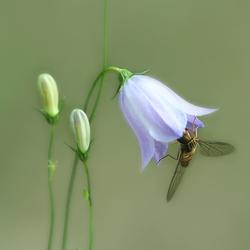 Zweefvlieg op een grasklokje