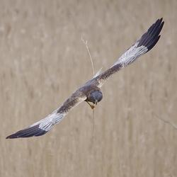 Bruine Kiekendief met nest matriaal