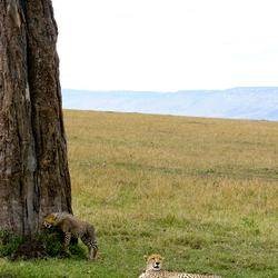 Cheeta met welp 2