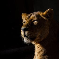 Leeuwin genietend in de zon