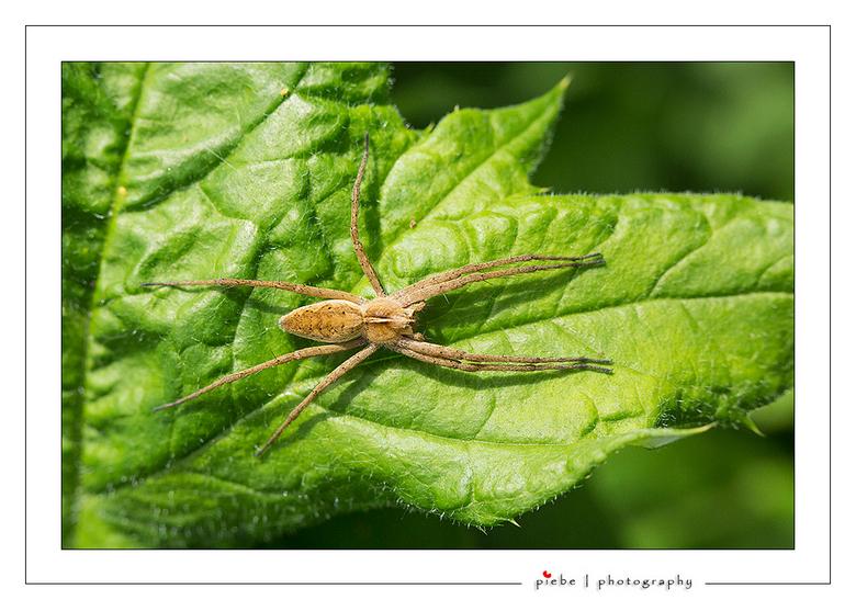 Spinnetje - Deze spin zat zich lekker in de zon te koesteren in onze tuin. Heb hier een tussen ring van 25 mm gebruikt.<br /> <br /> Groet Piebe<br