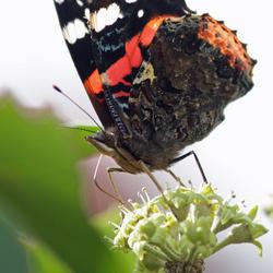 September vlinder