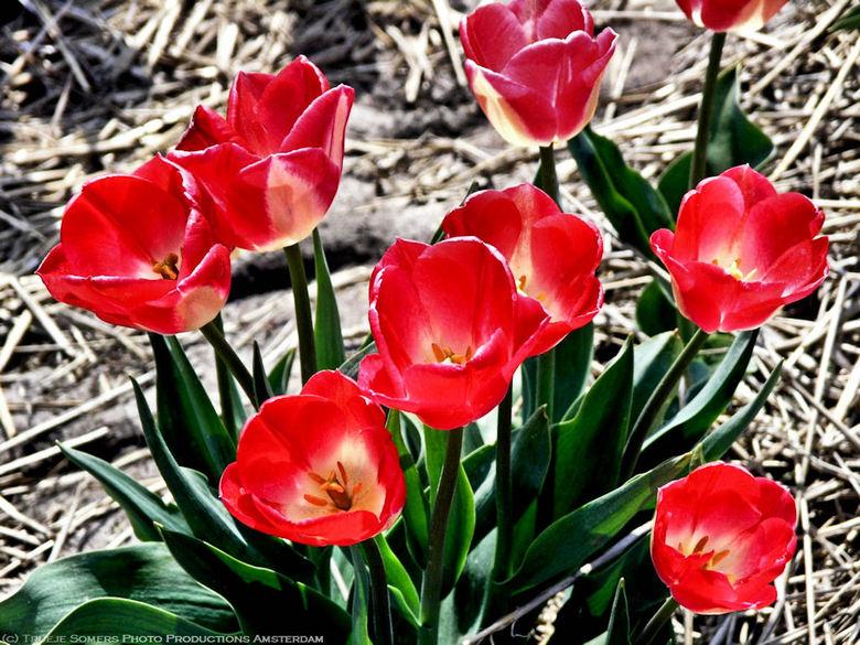 Red Tulips-2 beter dan vorige?