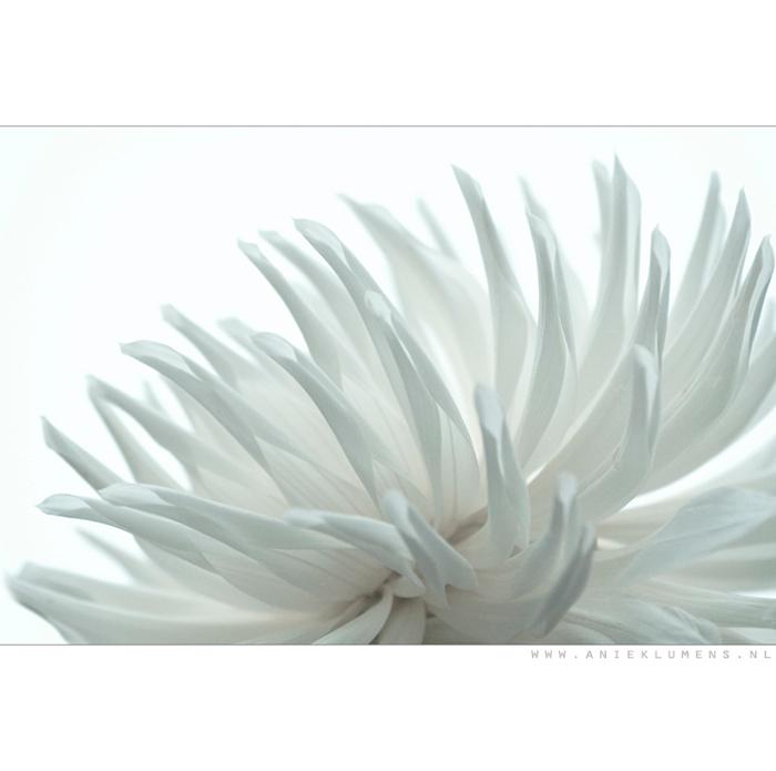 Dahlia - Superbedankt voor al jullie reacties tot nu toe!<br /> <br /> Deze dahlia is origineel lichtgeel van kleur. Ik heb hem omgezet naar deze &#
