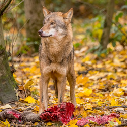 wolf 2 72dpi