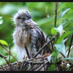 reigerjong in nest