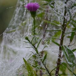 Dauw in het spinnenweb