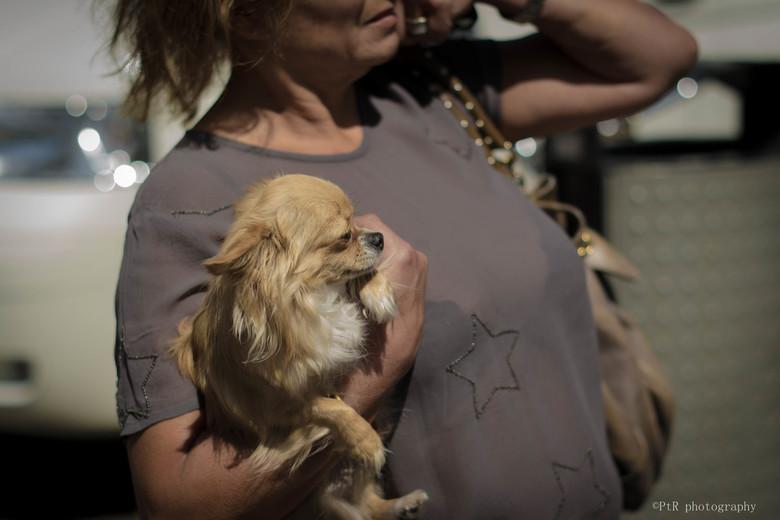 accessoirehond 4 - Een oprukkend beeld in het straatleven. De hond als modeaccessoire.