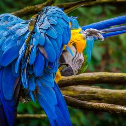 Blauw-gele Ara's