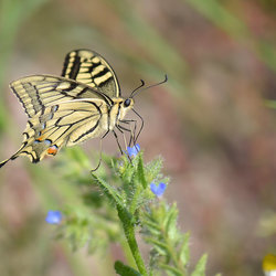 Papillio Machaon (Koninginnepage)