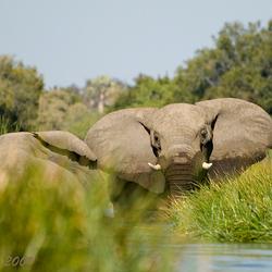 Olifanten spelen in het water