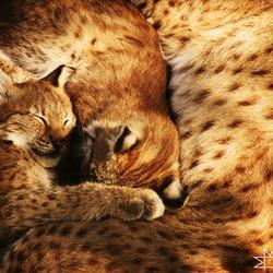 Jonge Lynxen