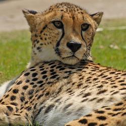 Luie cheeta