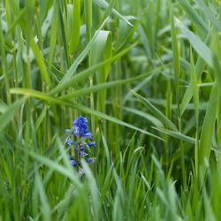 Hyacint in het riet