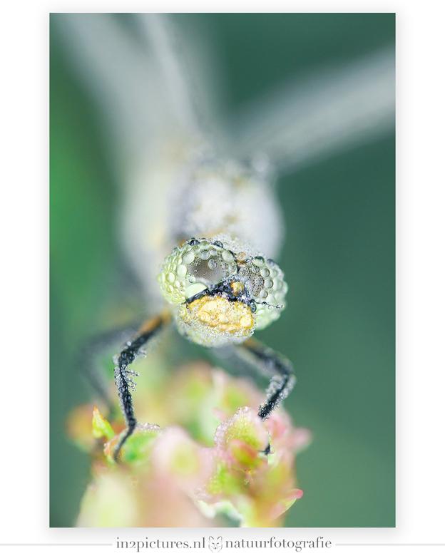I need some sunshine - Deze bedauwde libelle hunkerde naar wat zonneschijn om de dauwdruppels te doen verdwijnen. Het was zo'n vier/zes graden, m