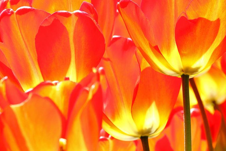 Vlammende tulpen - Vlammende tulpen