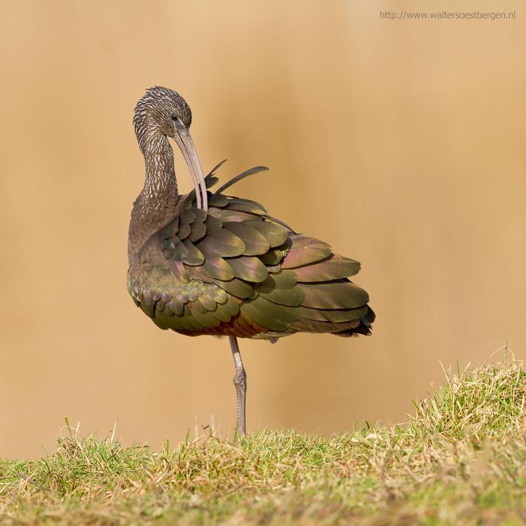 Zwarte Ibis????? - Vreemde naam voor een gekleurde vogel. Glossy Ibis is een naam die hem meer aandoet. Maar dat is dan ook zijn Engelse benaming