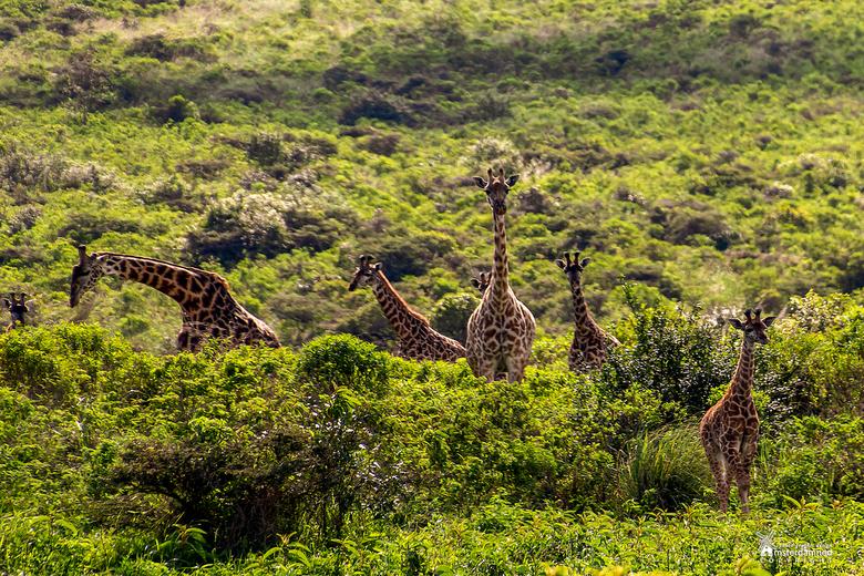 Arusha National Park - Masai giraffen in Arusha National Park.