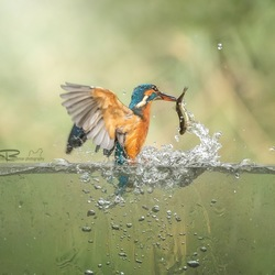 kingfisher with his food