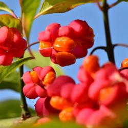 Bloem, vrucht en nu het zaad, Kardinaalsmuts