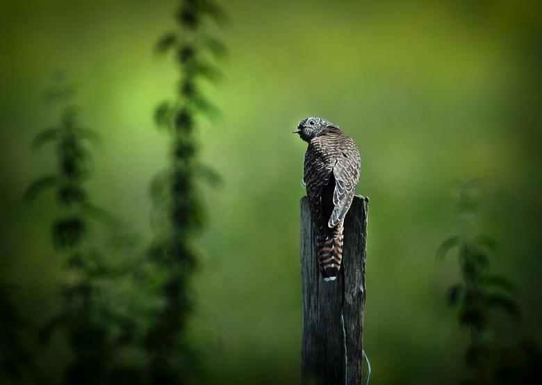 koekoek  - Koekoek<br /> <br /> Je hoort ze wel maar je ziet ze niet<br /> Hier een sfeer plaatje van deze prachtige vogel .<br /> Het was voor mi