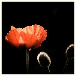 Poppy in ochtendlicht