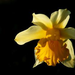 Narcis in het zonnetje