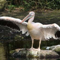 The Pelican Chief