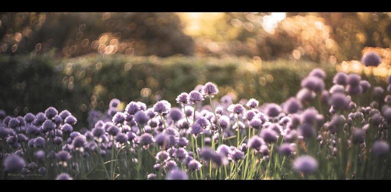 Bloei - Bloeiende bieslook.<br /> <br /> <br /> <br /> ©MotionMan 2020