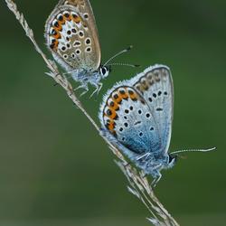 Heideblauwtjes