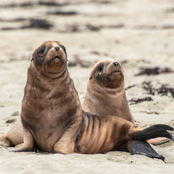 Sea lion cubs at Jack's Beach, New Zealand
