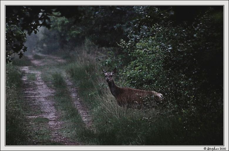 Onverwacht - Een avondfoto uit het archief,de foto is gemaakt toen ik naar huis fietste na een avondje wildspotten,de hinde stond plots onverwacht naa