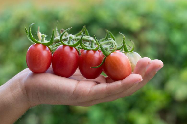 Vers geplukte tomaten - Vers geplukte tomaten uit eigen moestuin