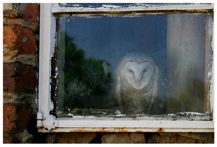 Kerkuil - Deze kerkuil is net een geest verschijning achter zijn raam.