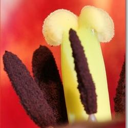 Stamper van tulp