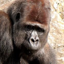 Ik, witrug gorilla