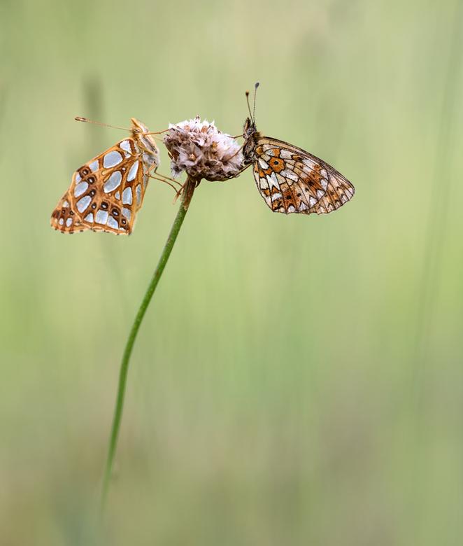 Live together - Een mooie vondst van het afgelopen jaar, de kleine parelmoervlinder en de zilveren maan. Dank voor jullie reactie's op 'Seas