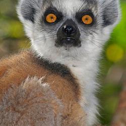 Lemur Kata portret