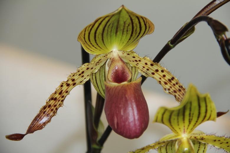 orchidee  - orchidee