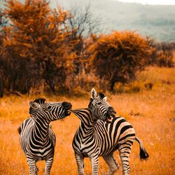 Zebra,s met ruzie