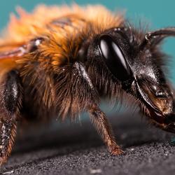 Een zandbij honing geven.