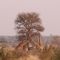 Giraffen in overleg op de savanne