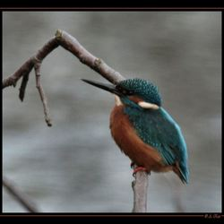 Alcedo atthis ( ijsvogel )