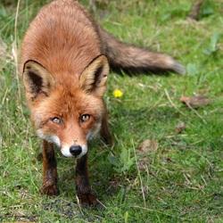 Sweet Foxy..